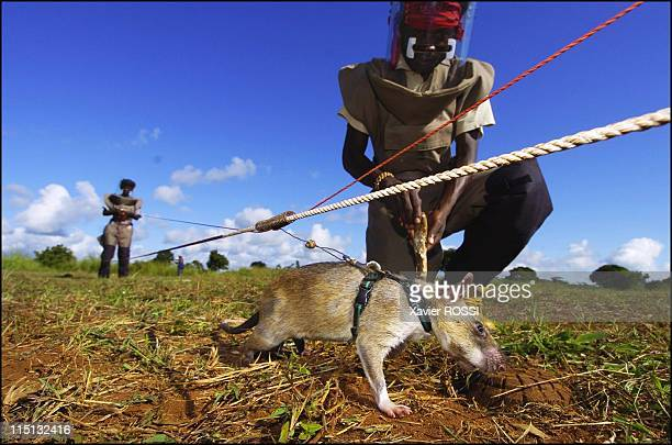Sniffer rats trained to find landmines in Mozambique on May 03 2004 The rat has found the landmine The landmineclearer pinpoints its exact position...