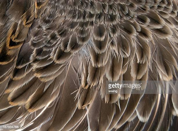 Bécassine des marais aile gros plan