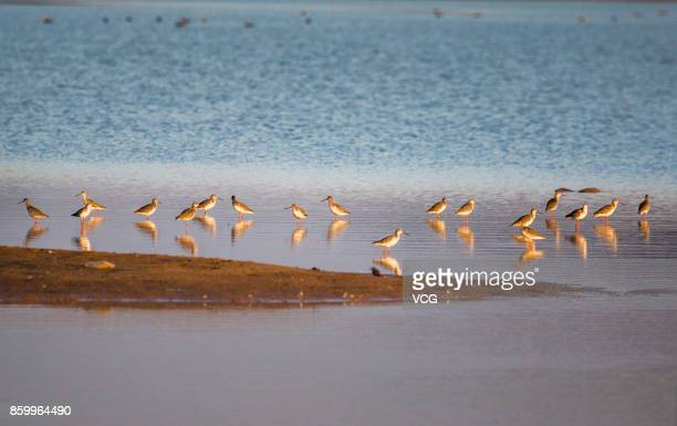 Snipes look for food at a wetland around the Poyang Lake on October 9 2017 in Jiujiang Jiangxi Province of China A large number of birds including...