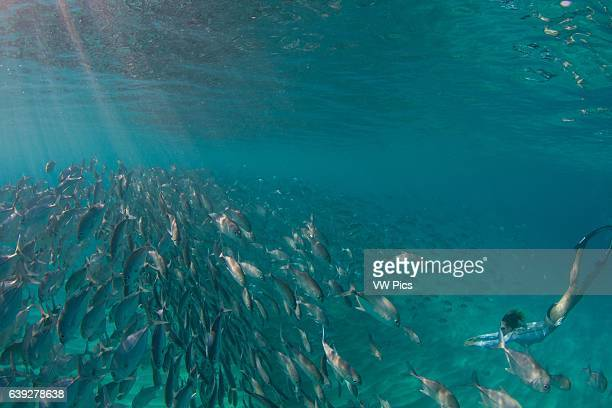 A snorkeler surrounded by a school of bigeye jackfish in Palawan Philippines