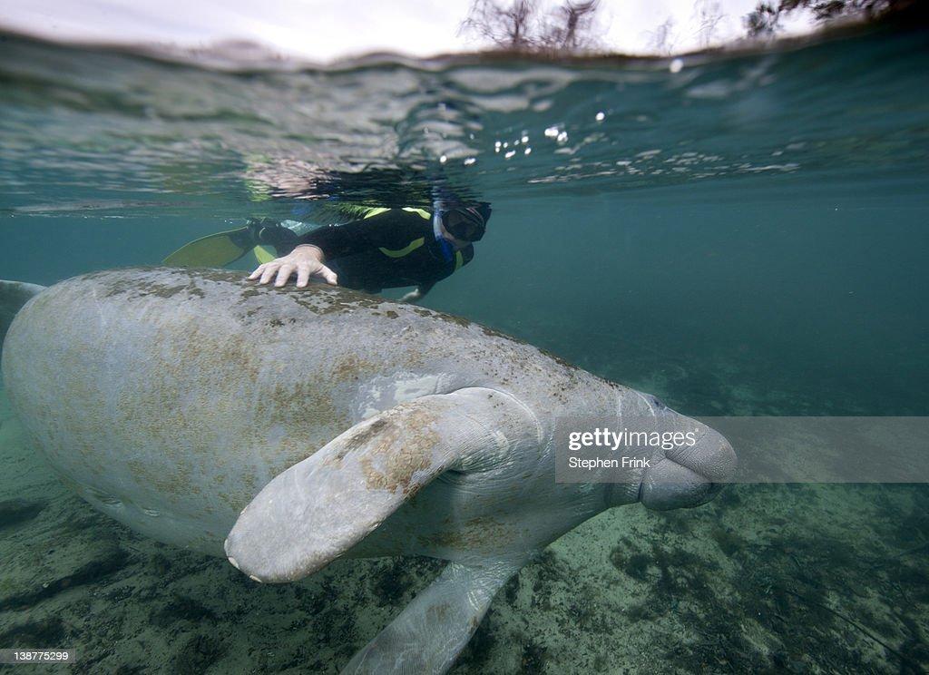 Snorkeler with Manatee : Stock Photo