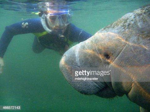 Snorkeler with wild manatee underwater Crystal River Florida