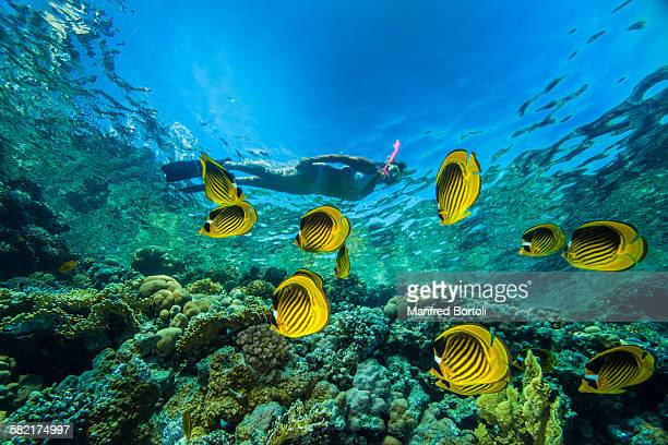 Snorkeling in the red sea with butterfly fishes