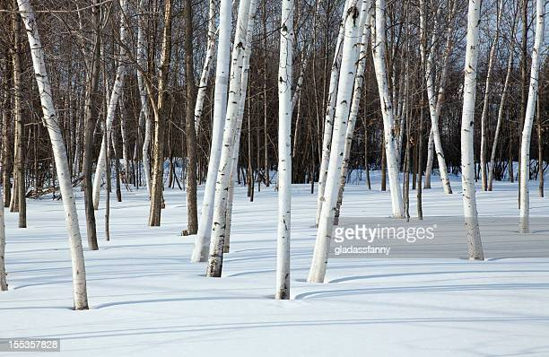 Snow and Birch Trees