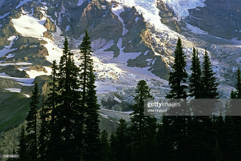 Snow and glacial ice at the foot of Mount Rainier, with subalpine fir trees in foreground, Abies lasiocarpa, Paradise, Mount Rainier National Park, Cascade Mountain Range, Washington, USA,