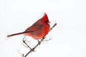 Male Cardinal with snow on it's beak