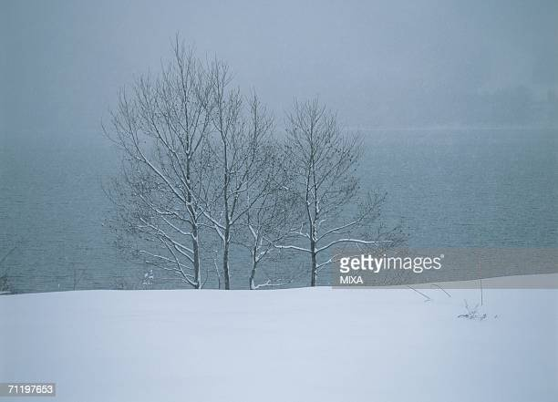 Snow clad birches near a lake