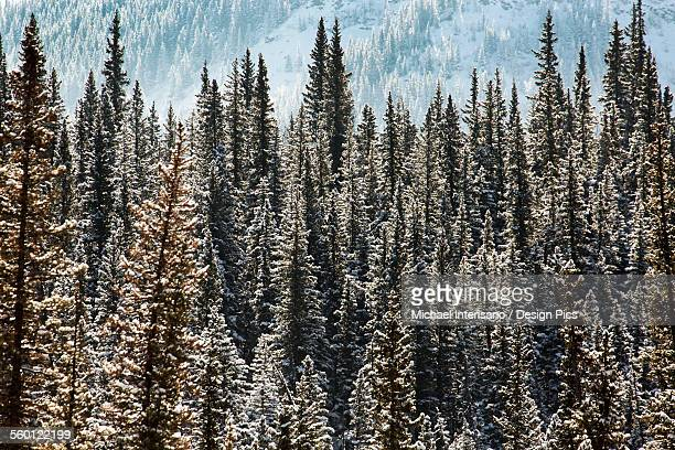 Snow covered evergreen trees highlighted by the sun with mountain slope in the background, Alberta, Canada