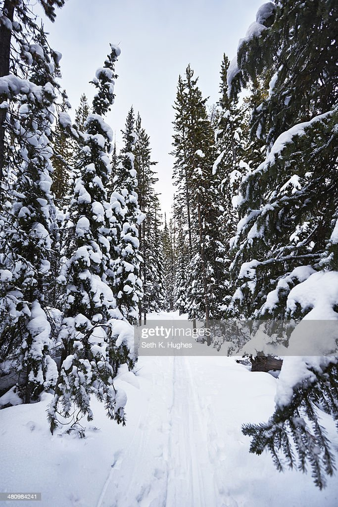 Snow covered fir trees, Colter Bay, Wyoming, USA : Stock Photo