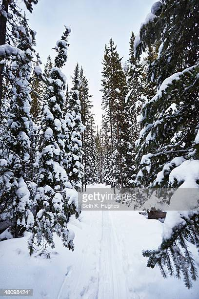 Snow covered fir trees, Colter Bay, Wyoming, USA