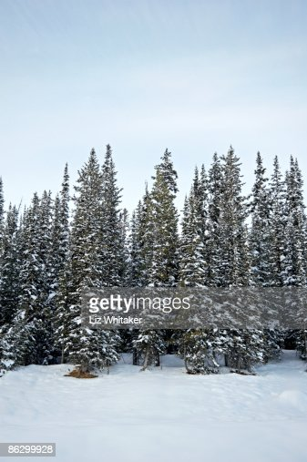 Snow covered fir trees : Stock Photo