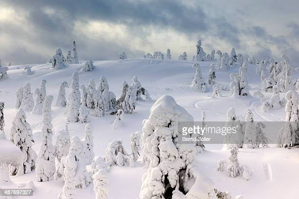 Snow covered mountain pines in a winter storm in Rukatunturi, Kuusamo, Lapland, Finland