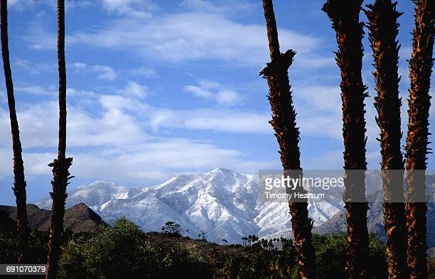 Snow covered mountains seen thru palm tree trunks