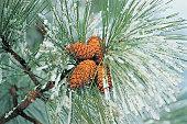 Snow covered pine cones on branch