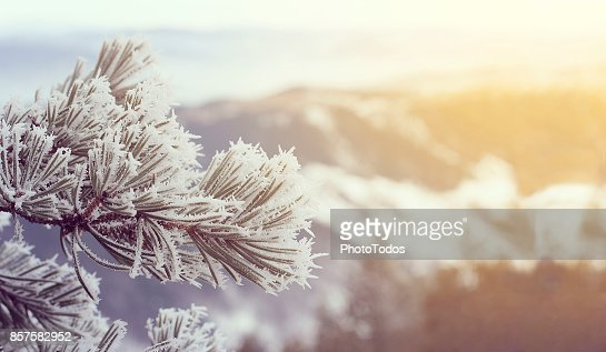 Snow covered pine trees on sunset : Stock Photo