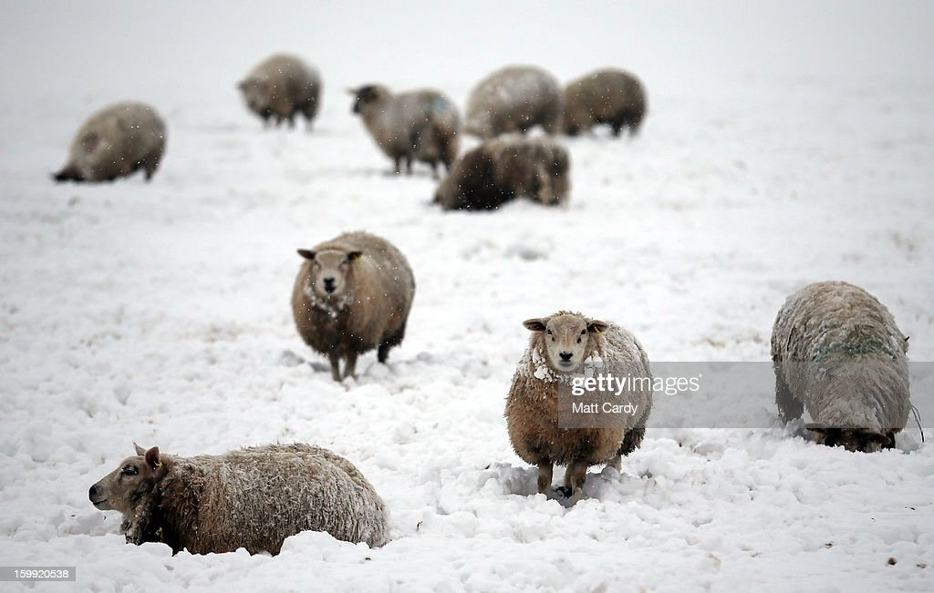 Snow covered sheep are seen in a field off the B3139 near to the village of West Horrington, near Wells on January 23, 2013 in Somerset, England. Parts of the UK, including the Mendips in Somerset, were hit by more snow last night causing further disruption and leading to a number of schools to close.