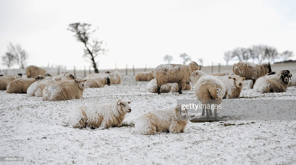 Snow covered sheep take shelter from strong winds as brief but heavy snow storms move across the Yorkshire Moors on March 11, 2013 in Yorkshire, United Kingdom. Wintery weather returned to the UK as snow fell across many parts of the country, with a number of weather warnings being issued.