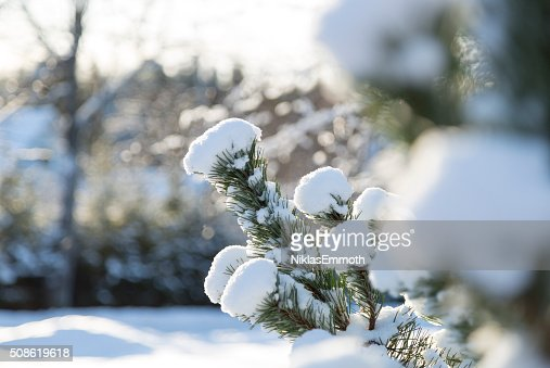 Snow Covered Spruce Twig : Stock Photo