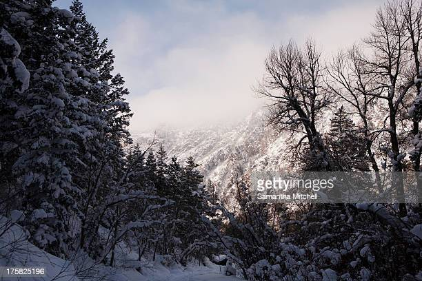 Snow covered trees in forest, Wasatch Mountains, Utah, USA