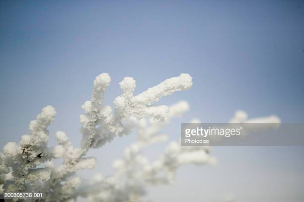 Snow covered trees in winter, high section, close-up