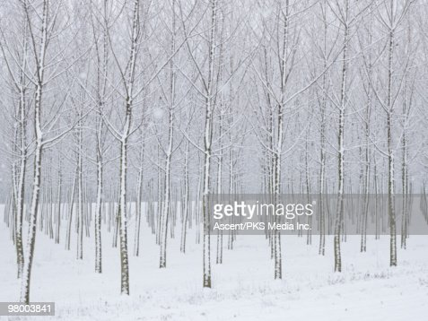 Snow covered tress in planted forest, snowstorm : Stock-Foto