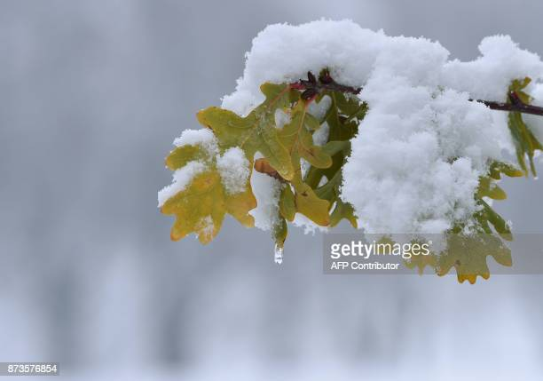 Snow covers autumn leaves still hanging on a tree near the village of Marktoberdorf southern Germany after a first onset of winter in Bavaria with...