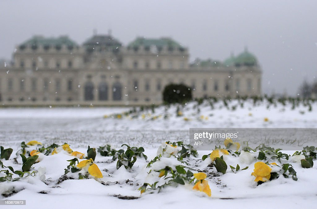 Snow covers yellow flowers in the gardens of the Belvedere Palace in Vienna on March 14, 2013. Temperatures in the Austrian capital were around the freezing point. AFP PHOTO / ALEXANDER KLEIN