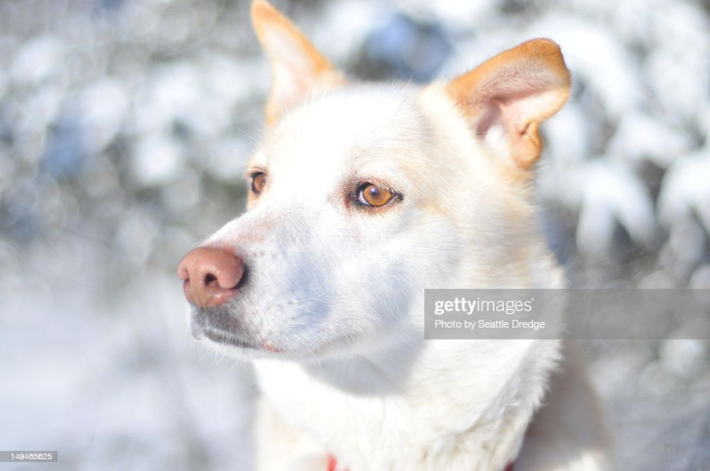 Snow dog : Stock Photo