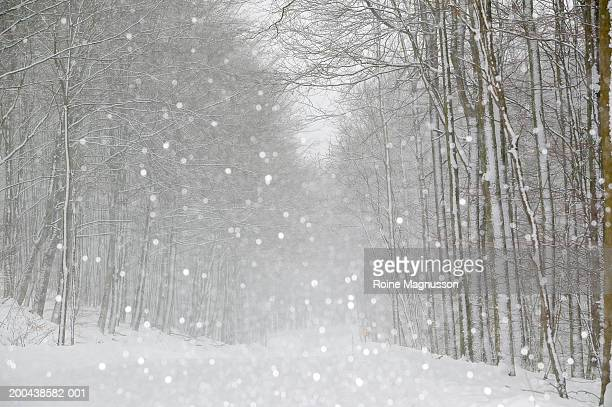Snow falling on road, Beech tree forest (Fagus Fagaceae)