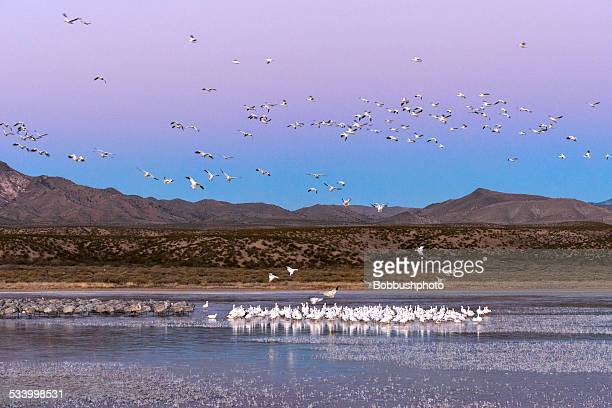 Snow Geese and Sandhill Cranes at Dawn with Copy Space