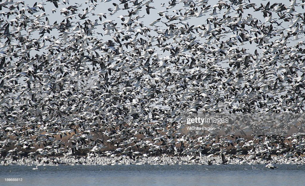 Snow geese flush from the warm, ice-free water at Coffey County Lake in Kansas, January 6, 2013.