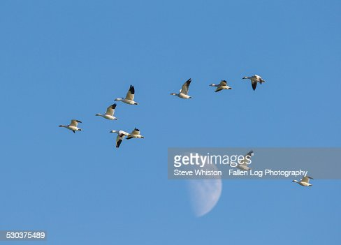 Snow Geese fly past the moon