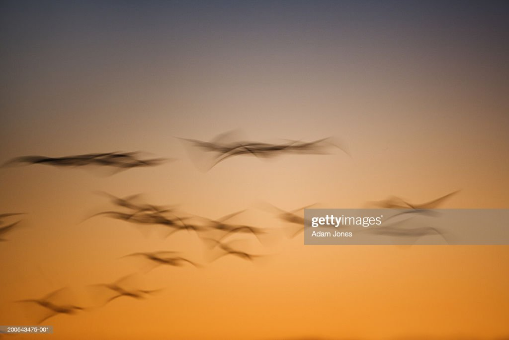 Snow geese (Anser caerulescens) in flight at sunrise (blurred motion) : Stock Photo