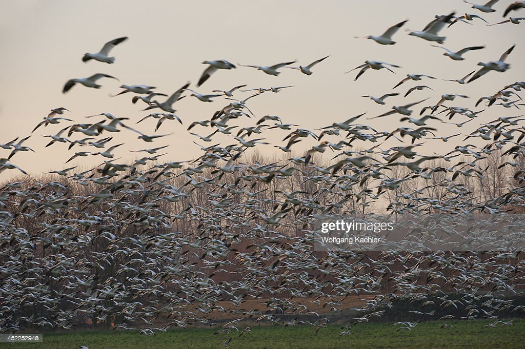 Snow Geese (Chen caerulescens) in flight in the Skagit Valley in Washington State, USA.