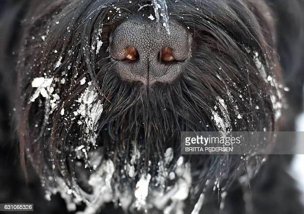 Snow hangs around a dog's snout on January 6 2017 in Berlin where temperatures were around minus four degrees Celsius / AFP / dpa / Britta Pedersen /...