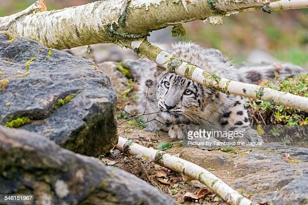 Snow leopard behind a branch