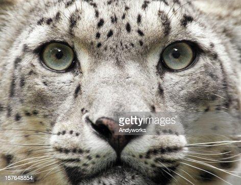 Snow Leopard Close Up (Uncia unc.)