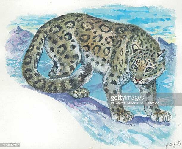 Snow leopard illustration
