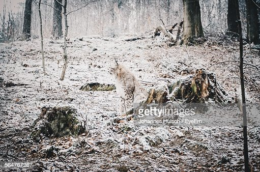 Snow Leopard In Forest