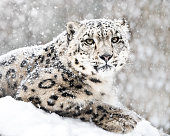 Frontal Portrait of Snow Leopard in Snow Storm