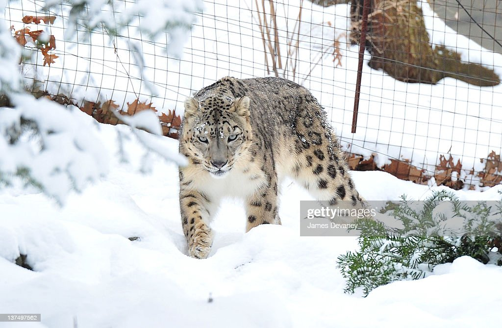 A snow leopard is seen at the Bronx Zoo after a snow storm on January 21, 2012 in the Bronx borough of New York City.