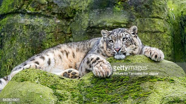 Snow leopard lying on a rock