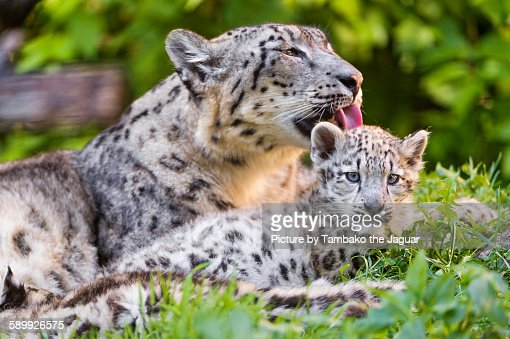 Snow leopard mother licking cub
