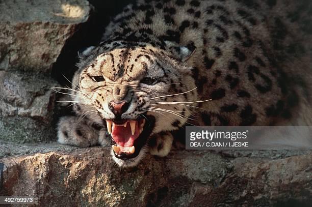 Snow leopard or Irbis Felidae