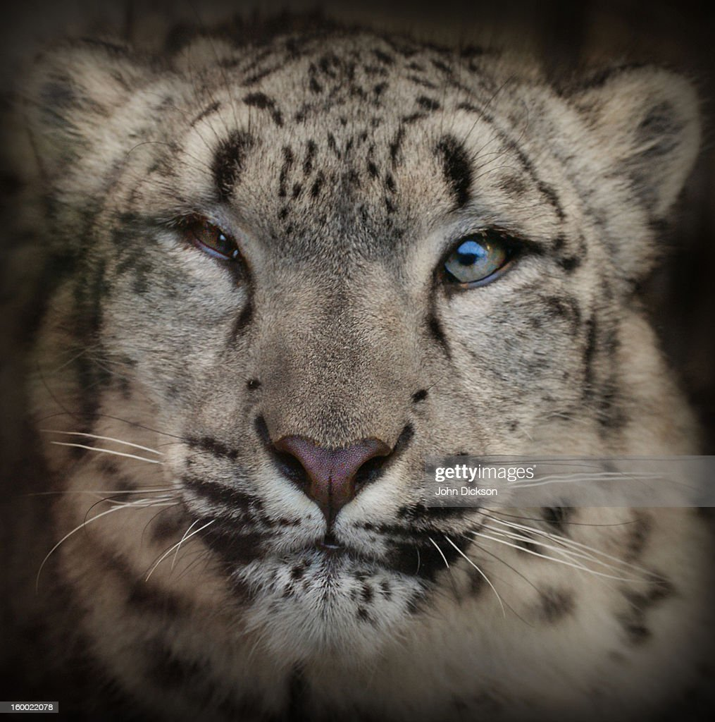 Snow Leopard (Panthera uncia, Uncia uncia) : Stock Photo