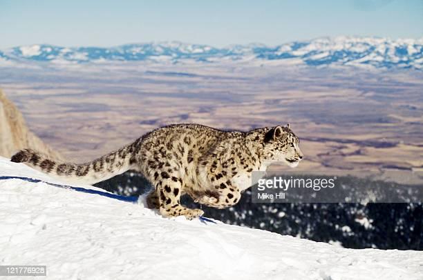 Snow Leopard (Uncia uncia) running in snow, Montana USA (Animal Model)