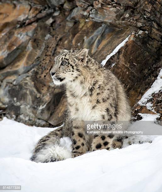 Snow Leopard Sitting in Snow