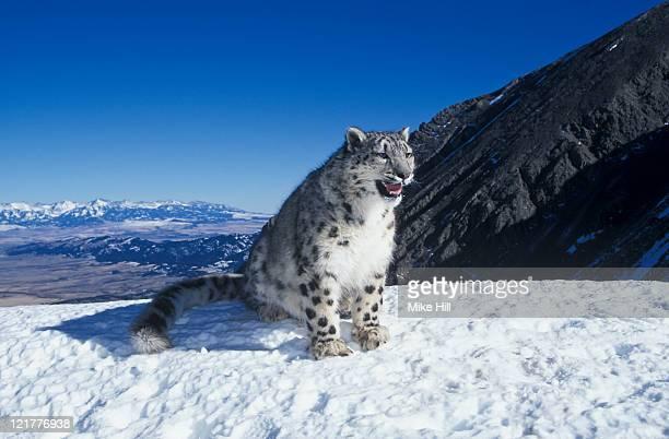 Snow Leopard (Uncia uncia) snarling in snow, Montana, USA (Animal Model)