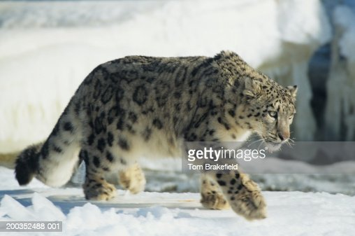 Snow leopard (Unica uncia) walking on snow