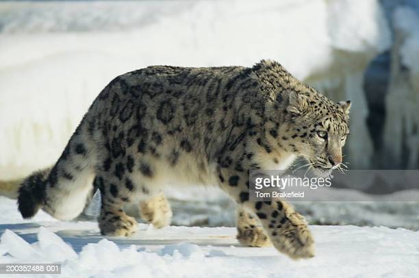 Snow leopard (Unica uncia) walking on snow